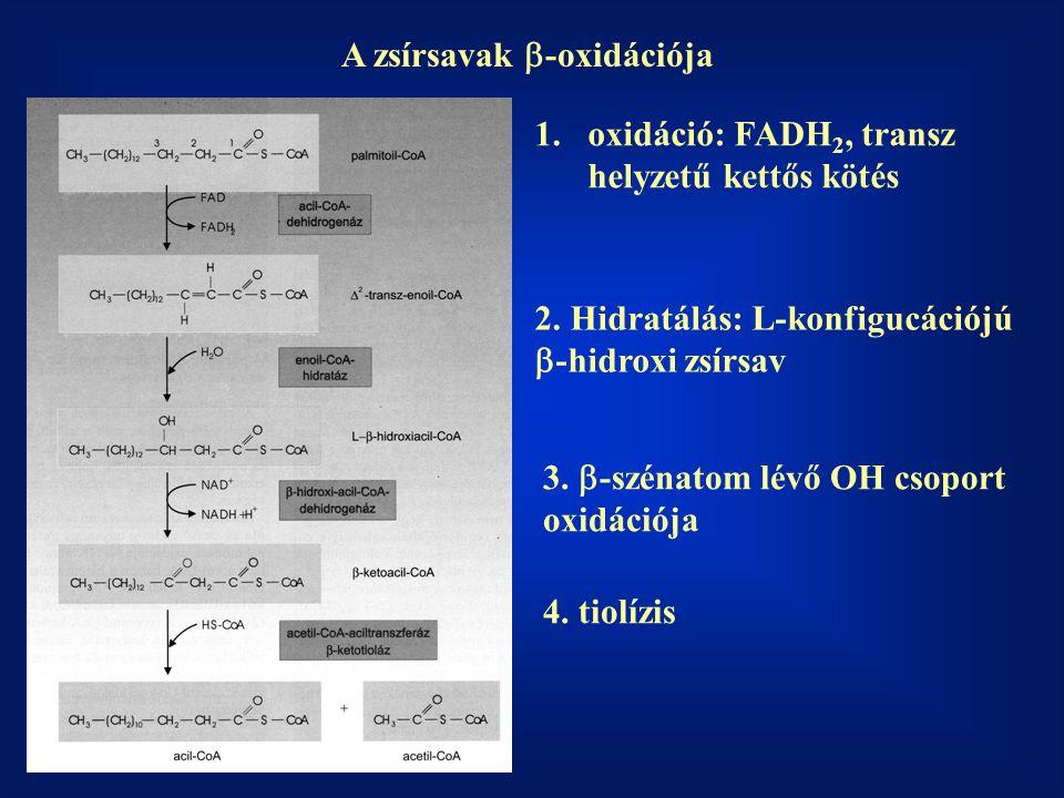 A zsírsavak  -oxidációja 1.oxidáció: FADH 2, transz helyzetű kettős kötés 2.