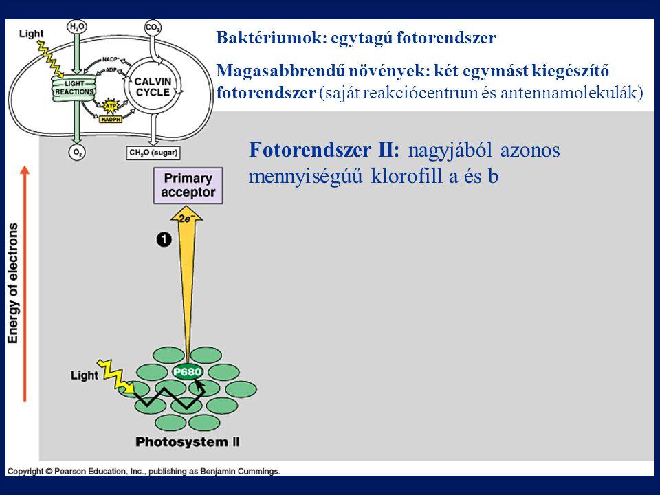 Baktériumok: egytagú fotorendszer Magasabbrendű növények: két egymást kiegészítő fotorendszer (saját reakciócentrum és antennamolekulák) Fotorendszer