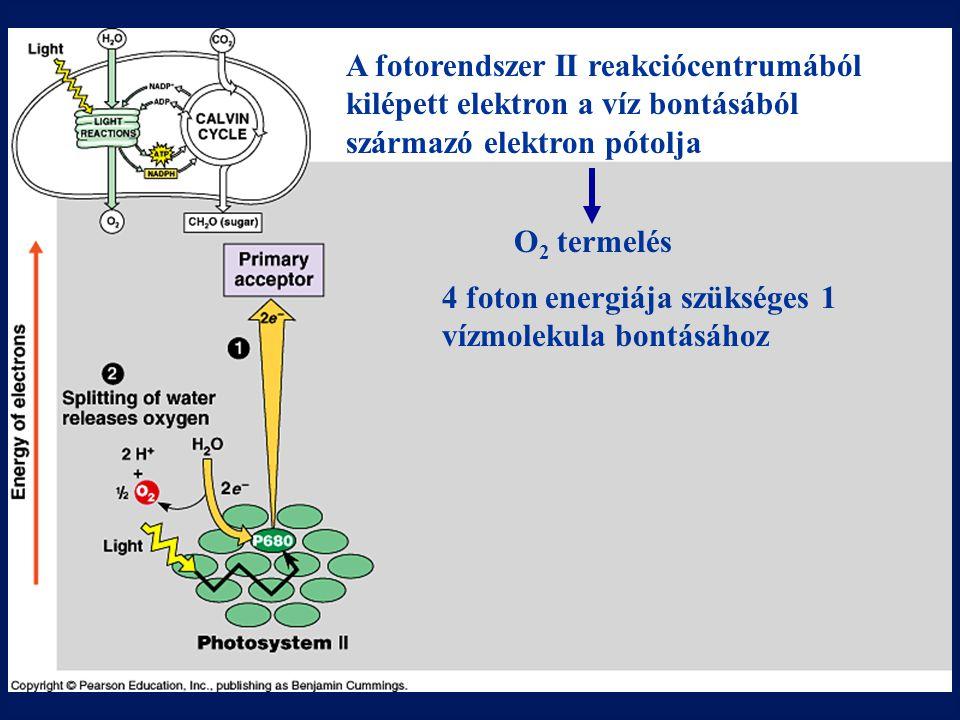 A fotorendszer II reakciócentrumából kilépett elektron a víz bontásából származó elektron pótolja O 2 termelés 4 foton energiája szükséges 1 vízmoleku