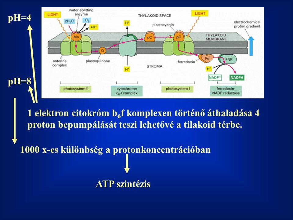 1 elektron citokróm b 6 f komplexen történő áthaladása 4 proton bepumpálását teszi lehetővé a tilakoid térbe. pH=4 pH=8 1000 x-es különbség a protonko