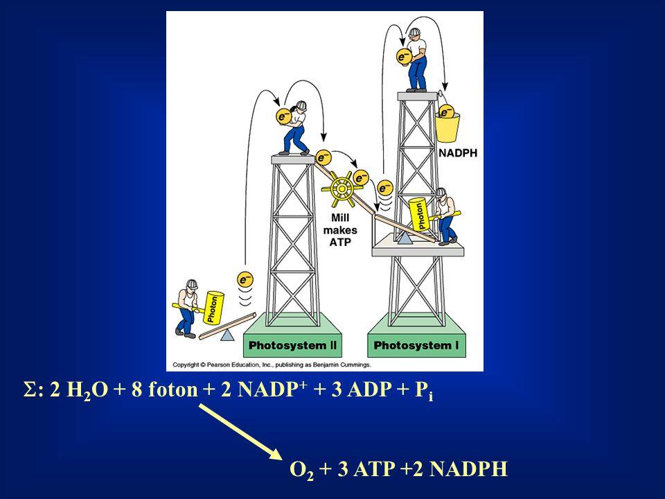  : 2 H 2 O + 8 foton + 2 NADP + + 3 ADP + P i O 2 + 3 ATP +2 NADPH
