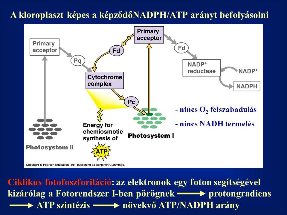 A kloroplaszt képes a képződőNADPH/ATP arányt befolyásolni Ciklikus fotofoszforiláció: az elektronok egy foton segítségével kizárólag a Fotorendszer I