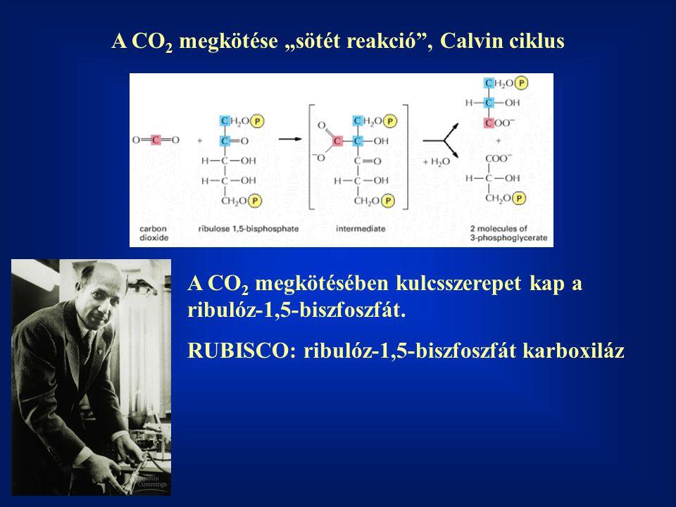 """A CO 2 megkötése """"sötét reakció"""", Calvin ciklus A CO 2 megkötésében kulcsszerepet kap a ribulóz-1,5-biszfoszfát. RUBISCO: ribulóz-1,5-biszfoszfát karb"""