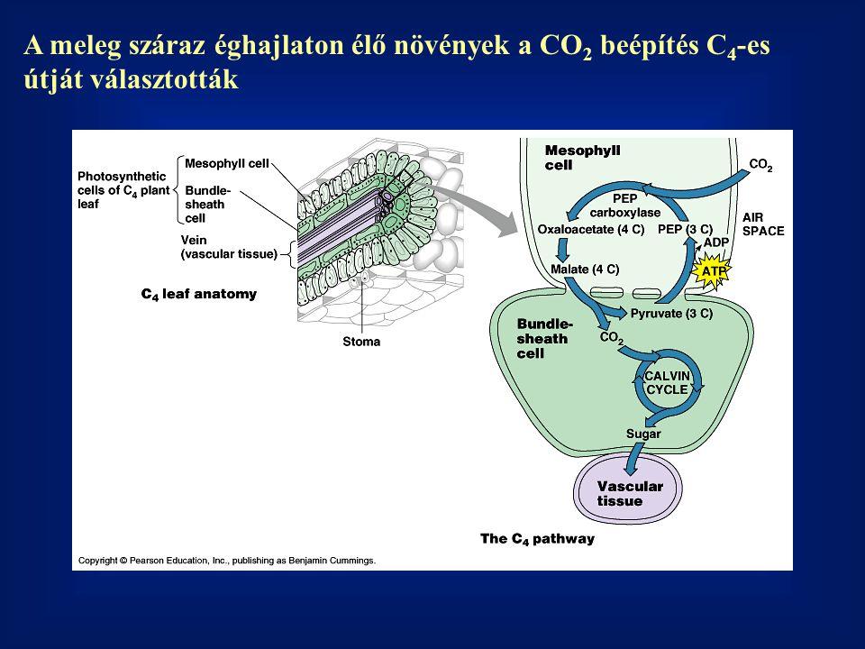 A meleg száraz éghajlaton élő növények a CO 2 beépítés C 4 -es útját választották