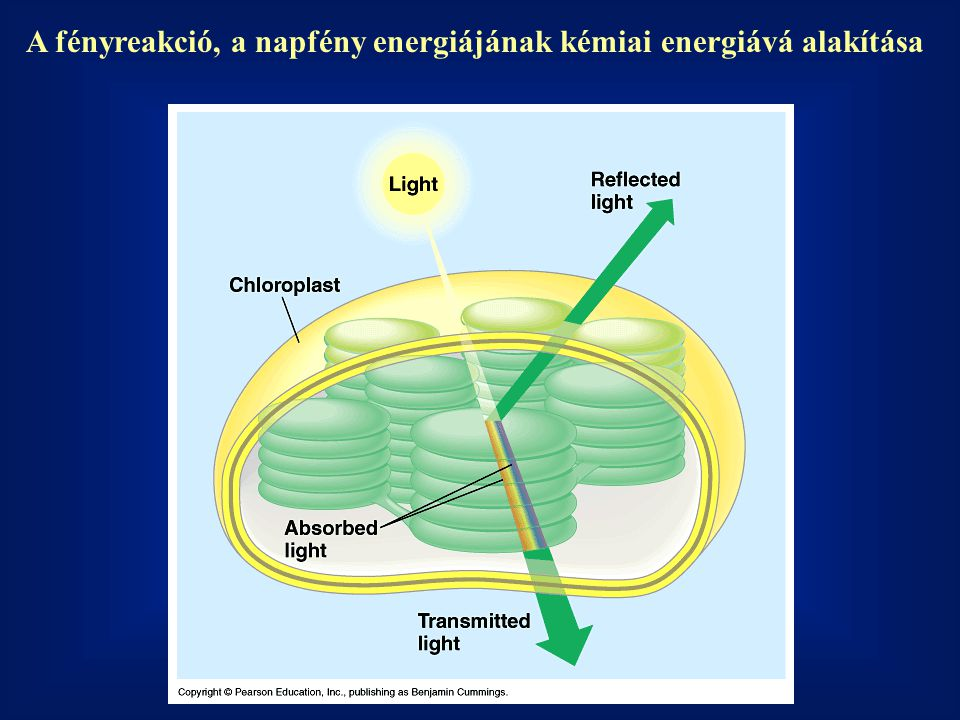 A fényreakció, a napfény energiájának kémiai energiává alakítása