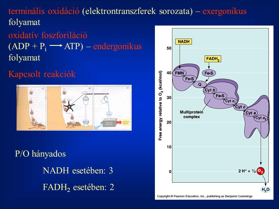 terminális oxidáció (elektrontranszferek sorozata) – exergonikus folyamat oxidatív foszforiláció (ADP + P i ATP) – endergonikus folyamat Kapcsolt reakciók P/O hányados NADH esetében: 3 FADH 2 esetében: 2