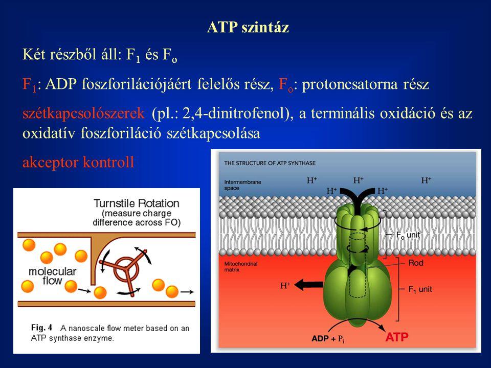 ATP szintáz Két részből áll: F 1 és F o F 1 : ADP foszforilációjáért felelős rész, F o : protoncsatorna rész szétkapcsolószerek (pl.: 2,4-dinitrofenol), a terminális oxidáció és az oxidatív foszforiláció szétkapcsolása akceptor kontroll