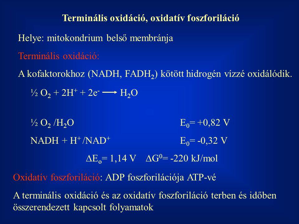 Terminális oxidáció, oxidatív foszforiláció Helye: mitokondrium belső membránja Terminális oxidáció: A kofaktorokhoz (NADH, FADH 2 ) kötött hidrogén vízzé oxidálódik.