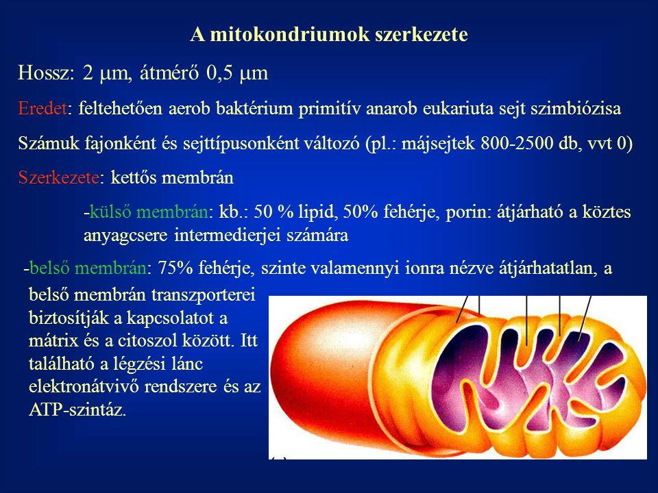 A mitokondriumok szerkezete Hossz: 2  m, átmérő 0,5  m Eredet: feltehetően aerob baktérium primitív anarob eukariuta sejt szimbiózisa Számuk fajonké