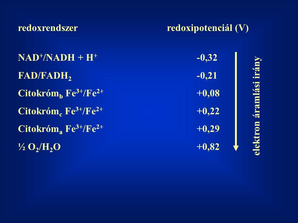 redoxrendszerredoxipotenciál (V) NAD + /NADH + H + -0,32 FAD/FADH 2 -0,21 Citokróm b Fe 3+ /Fe 2+ +0,08 Citokróm c Fe 3+ /Fe 2+ +0,22 Citokróm a Fe 3+ /Fe 2+ +0,29 ½ O 2 /H 2 O+0,82 elektron áramlási irány