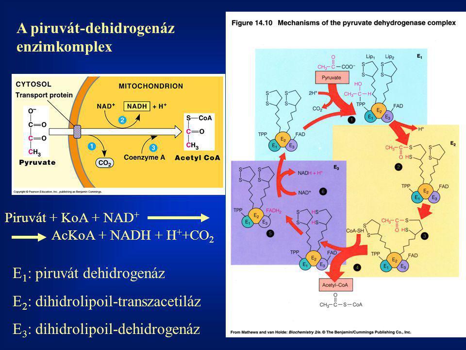 A piruvát-dehidrogenáz enzimkomplex Piruvát + KoA + NAD + AcKoA + NADH + H + +CO 2 E 1 : piruvát dehidrogenáz E 2 : dihidrolipoil-transzacetiláz E 3 :