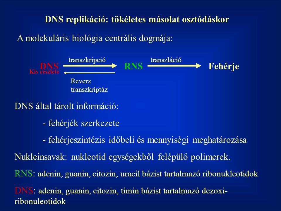 DNS replikáció: tökéletes másolat osztódáskor A molekuláris biológia centrális dogmája: DNSRNSFehérje transzkripciótranszláció Reverz transzkriptáz DN
