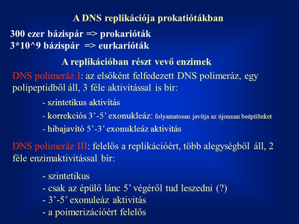 A DNS replikációja prokatiótákban DNS polimeráz I: az elsőként felfedezett DNS polimeráz, egy polipeptidből áll, 3 féle aktivitással is bír: - szintet