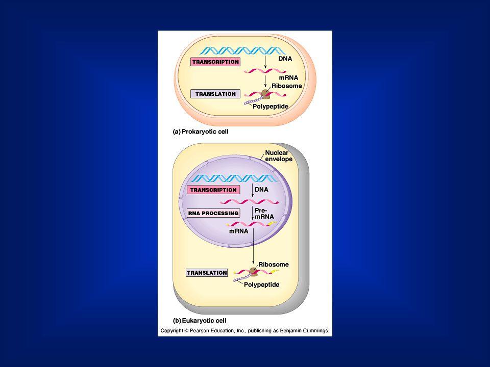 3 bázis => 1 kodon Egyféle aminosavat többféle kód is jelöl: degenerált.