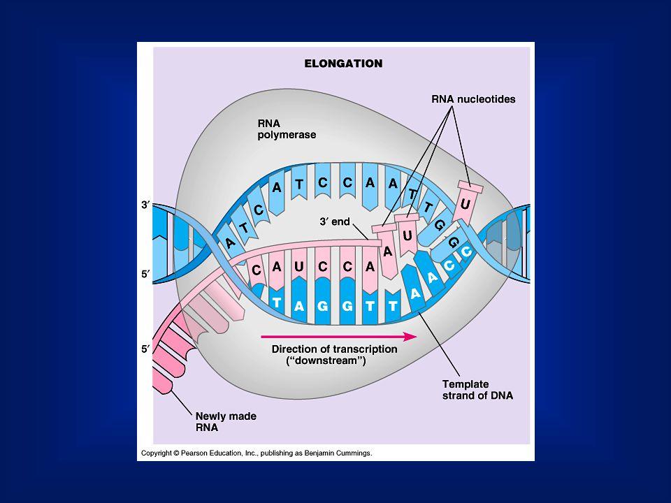 A humán genomnak csak 10%-a kódoló régió (exon). A nem kódoló régiók kivágódnak (intron)