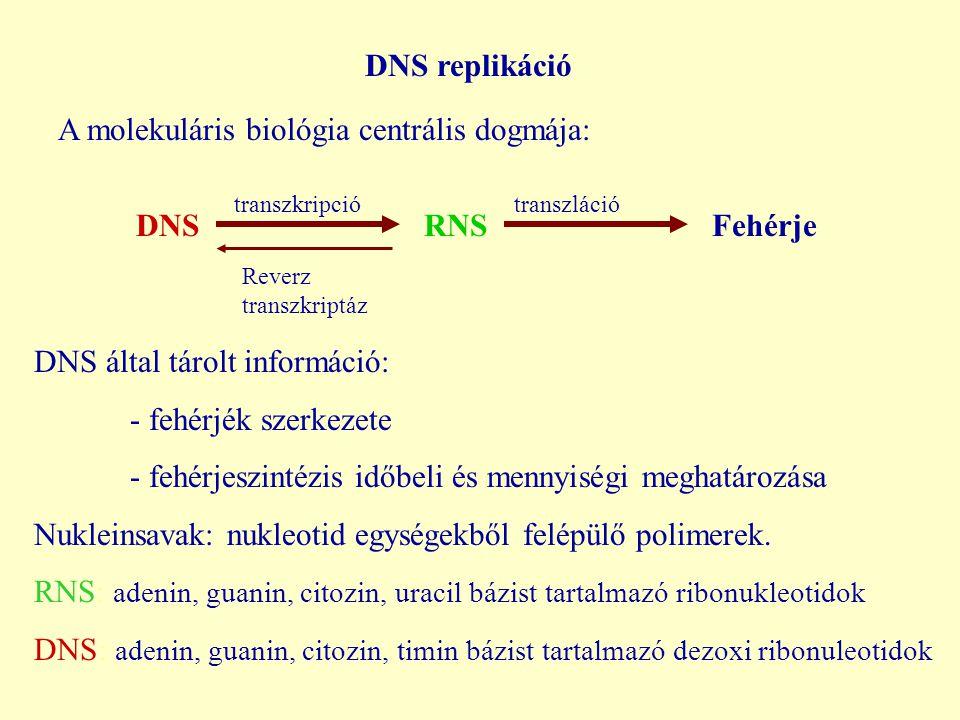 DNS replikáció A molekuláris biológia centrális dogmája: DNSRNSFehérje transzkripciótranszláció Reverz transzkriptáz DNS által tárolt információ: - fehérjék szerkezete - fehérjeszintézis időbeli és mennyiségi meghatározása Nukleinsavak: nukleotid egységekből felépülő polimerek.