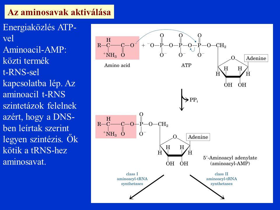 Az aminosavak aktiválása Energiaközlés ATP- vel Aminoacil-AMP: közti termék t-RNS-sel kapcsolatba lép.
