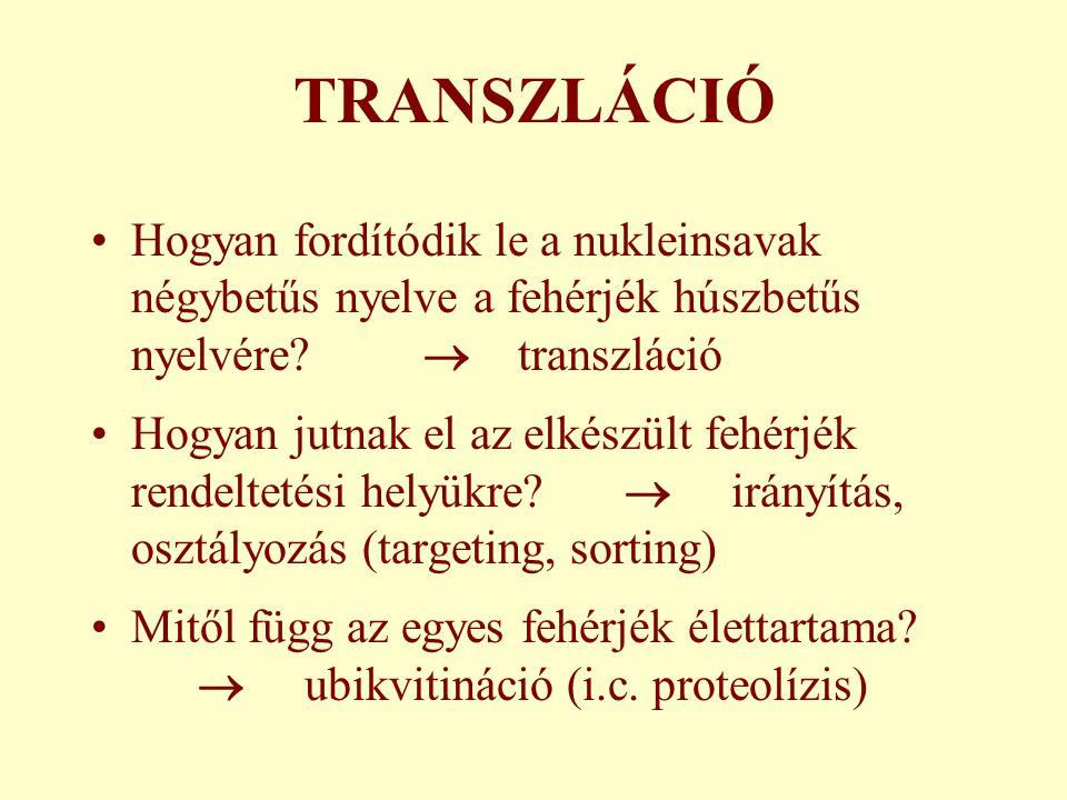 TRANSZLÁCIÓ Hogyan fordítódik le a nukleinsavak négybetűs nyelve a fehérjék húszbetűs nyelvére.