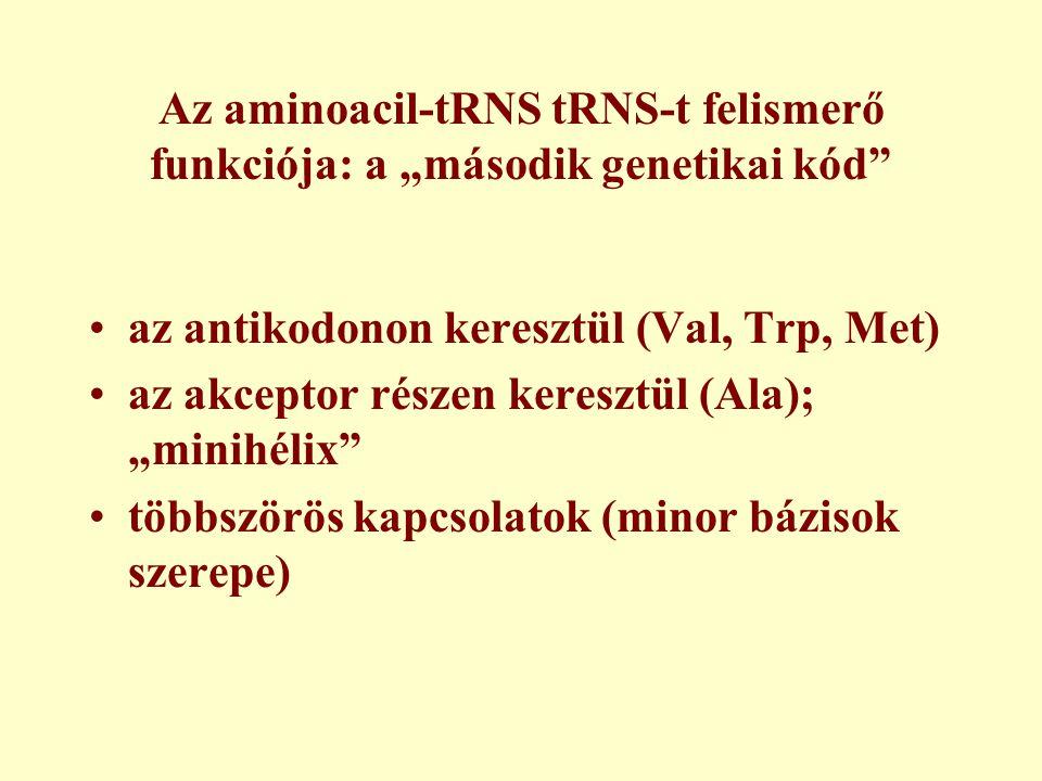 """Az aminoacil-tRNS tRNS-t felismerő funkciója: a """"második genetikai kód az antikodonon keresztül (Val, Trp, Met) az akceptor részen keresztül (Ala); """"minihélix többszörös kapcsolatok (minor bázisok szerepe)"""