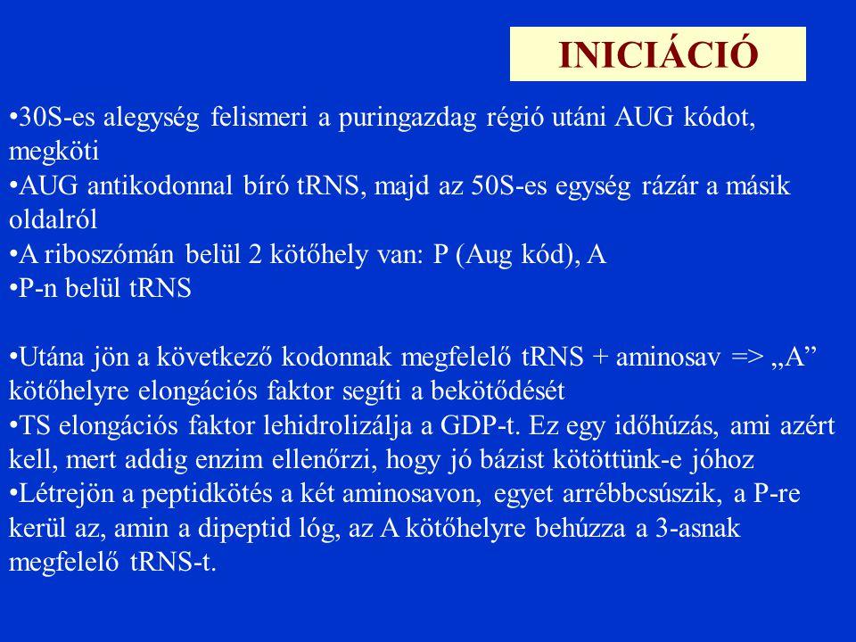"""INICIÁCIÓ 30S-es alegység felismeri a puringazdag régió utáni AUG kódot, megköti AUG antikodonnal bíró tRNS, majd az 50S-es egység rázár a másik oldalról A riboszómán belül 2 kötőhely van: P (Aug kód), A P-n belül tRNS Utána jön a következő kodonnak megfelelő tRNS + aminosav => """"A kötőhelyre elongációs faktor segíti a bekötődését TS elongációs faktor lehidrolizálja a GDP-t."""