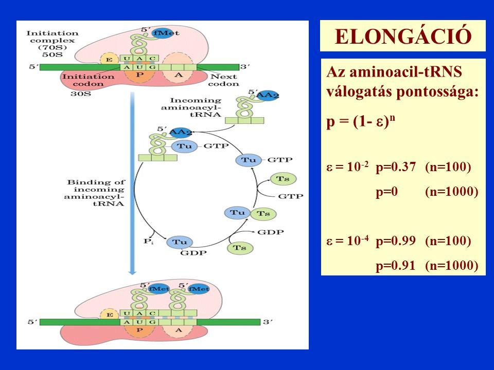 Az aminoacil-tRNS válogatás pontossága: p = (1-  ) n  = 10 -2 p=0.37 (n=100) p=0 (n=1000)  = 10 -4 p=0.99 (n=100) p=0.91 (n=1000) ELONGÁCIÓ