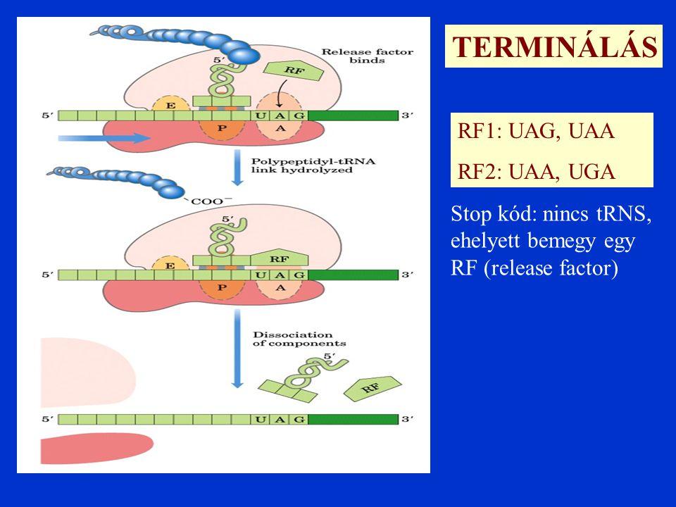 TERMINÁLÁS RF1: UAG, UAA RF2: UAA, UGA Stop kód: nincs tRNS, ehelyett bemegy egy RF (release factor)