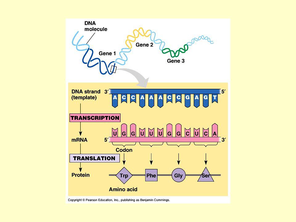 Minden nyers fehérje AUG-vel kezdődik 60 különböző kód 19 aminosavat kódol