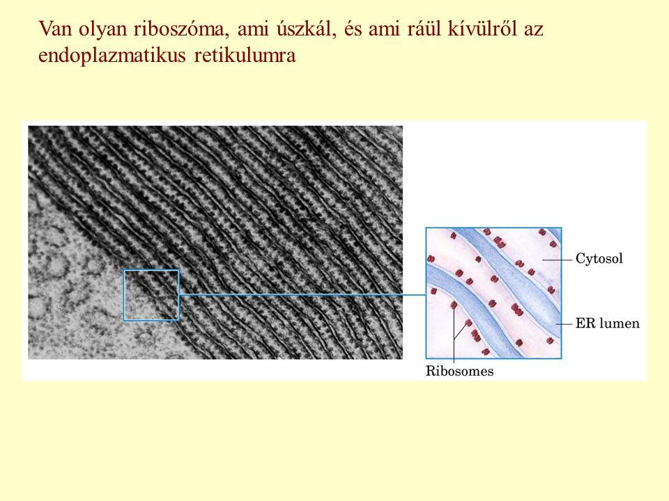 Van olyan riboszóma, ami úszkál, és ami ráül kívülről az endoplazmatikus retikulumra