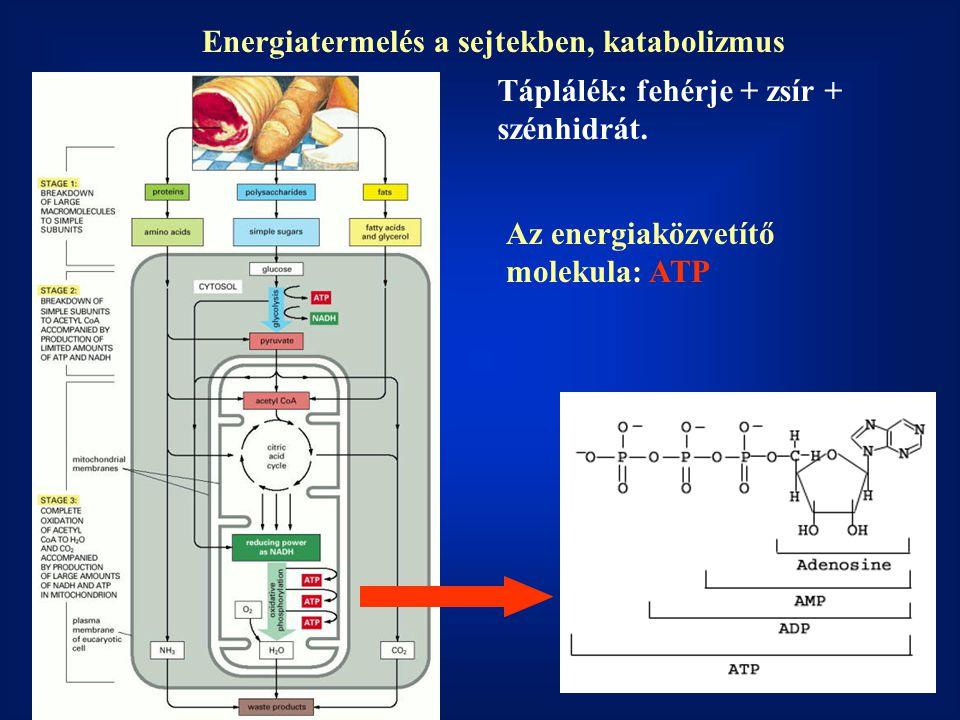 Energiatermelés a sejtekben, katabolizmus Az energiaközvetítő molekula: ATP Táplálék: fehérje + zsír + szénhidrát.