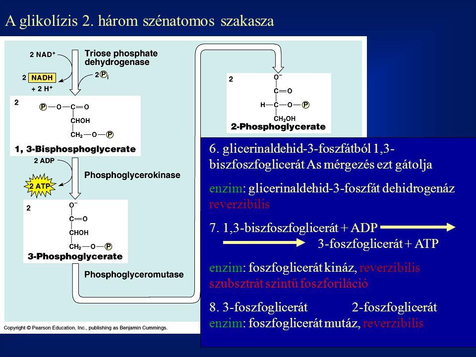 A glikolízis 2. három szénatomos szakasza 6. glicerinaldehid-3-foszfátból 1,3- biszfoszfoglicerát As mérgezés ezt gátolja enzim: glicerinaldehid-3-fos