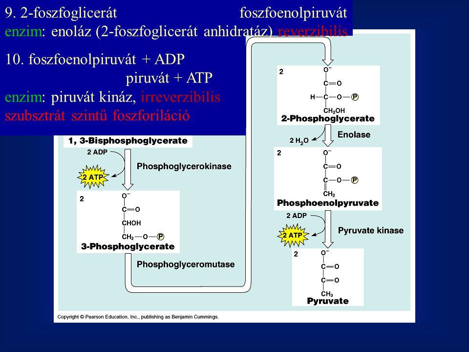 9. 2-foszfoglicerátfoszfoenolpiruvát enzim: enoláz (2-foszfoglicerát anhidratáz) reverzibilis 10. foszfoenolpiruvát + ADP piruvát + ATP enzim: piruvát