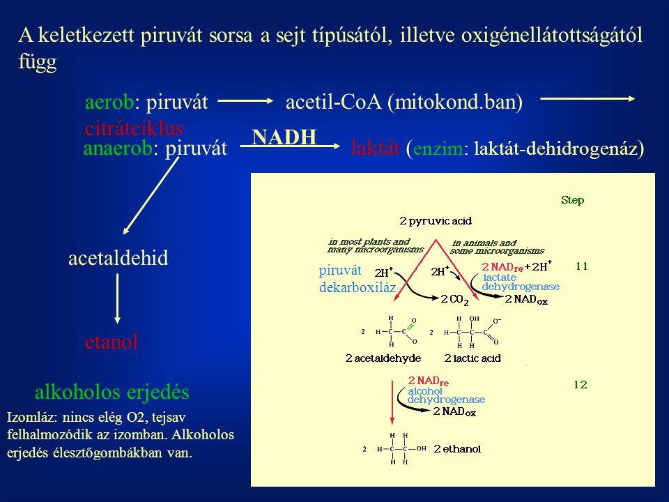 A keletkezett piruvát sorsa a sejt típúsától, illetve oxigénellátottságától függ aerob: piruvátacetil-CoA (mitokond.ban) citrátciklus anaerob: piruvát