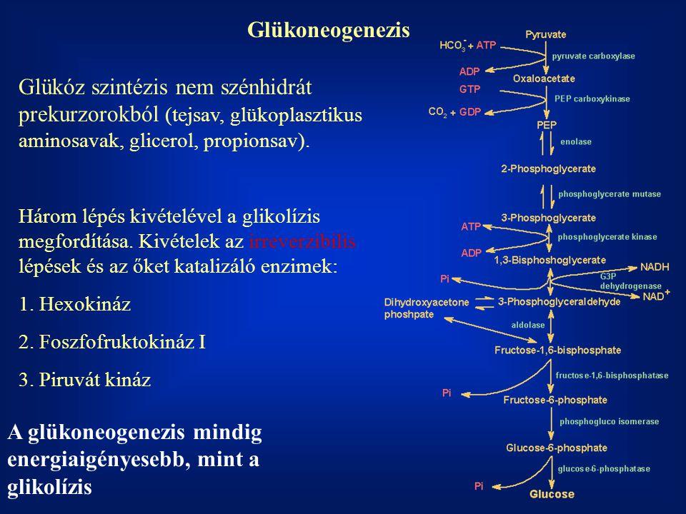 Glükoneogenezis Glükóz szintézis nem szénhidrát prekurzorokból (tejsav, glükoplasztikus aminosavak, glicerol, propionsav). Három lépés kivételével a g