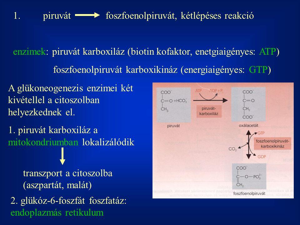 1. piruvát foszfoenolpiruvát, kétlépéses reakció enzimek: piruvát karboxiláz (biotin kofaktor, enetgiaigényes: ATP) foszfoenolpiruvát karboxikináz (en