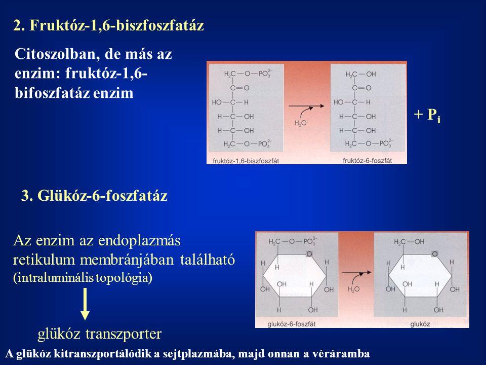 2. Fruktóz-1,6-biszfoszfatáz + P i 3. Glükóz-6-foszfatáz Az enzim az endoplazmás retikulum membránjában található (intraluminális topológia) glükóz tr