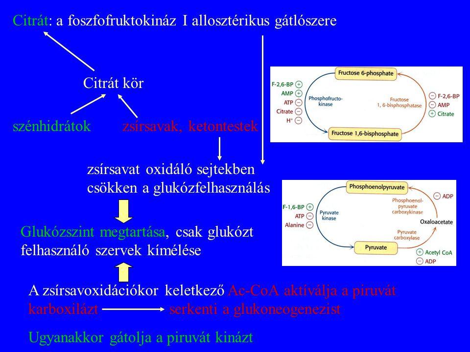 Citrát: a foszfofruktokináz I allosztérikus gátlószere Citrát kör zsírsavak, ketontestekszénhidrátok zsírsavat oxidáló sejtekben csökken a glukózfelha