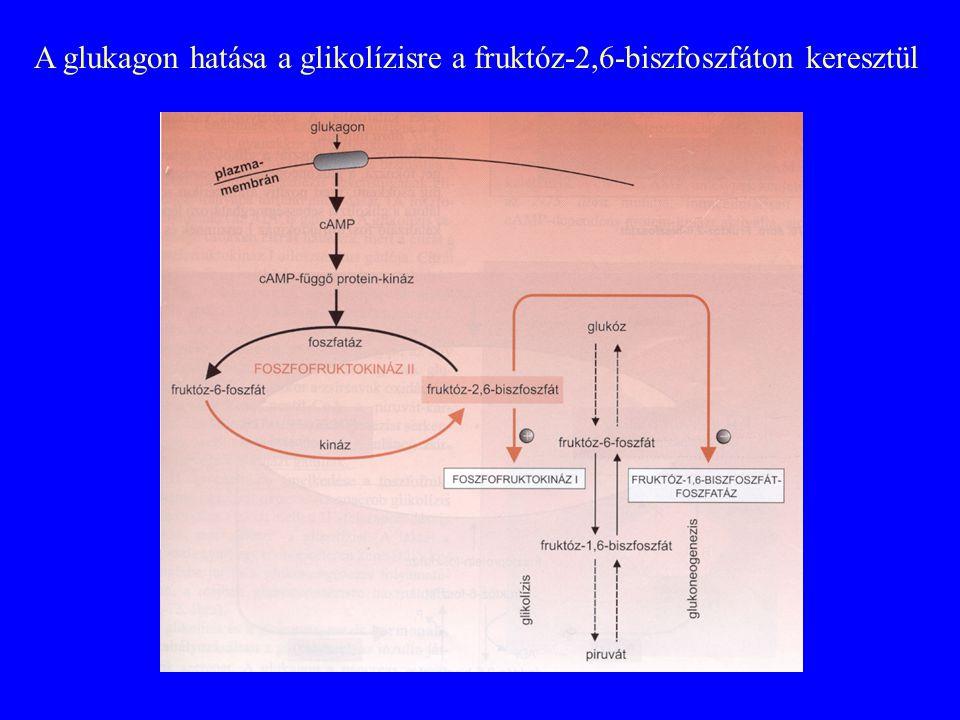 A glukagon hatása a glikolízisre a fruktóz-2,6-biszfoszfáton keresztül