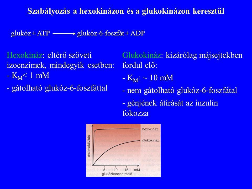 Szabályozás a hexokinázon és a glukokinázon keresztül glukóz + ATP glukóz-6-foszfát + ADP Hexokináz: eltérő szöveti izoenzimek, mindegyik esetben: - K