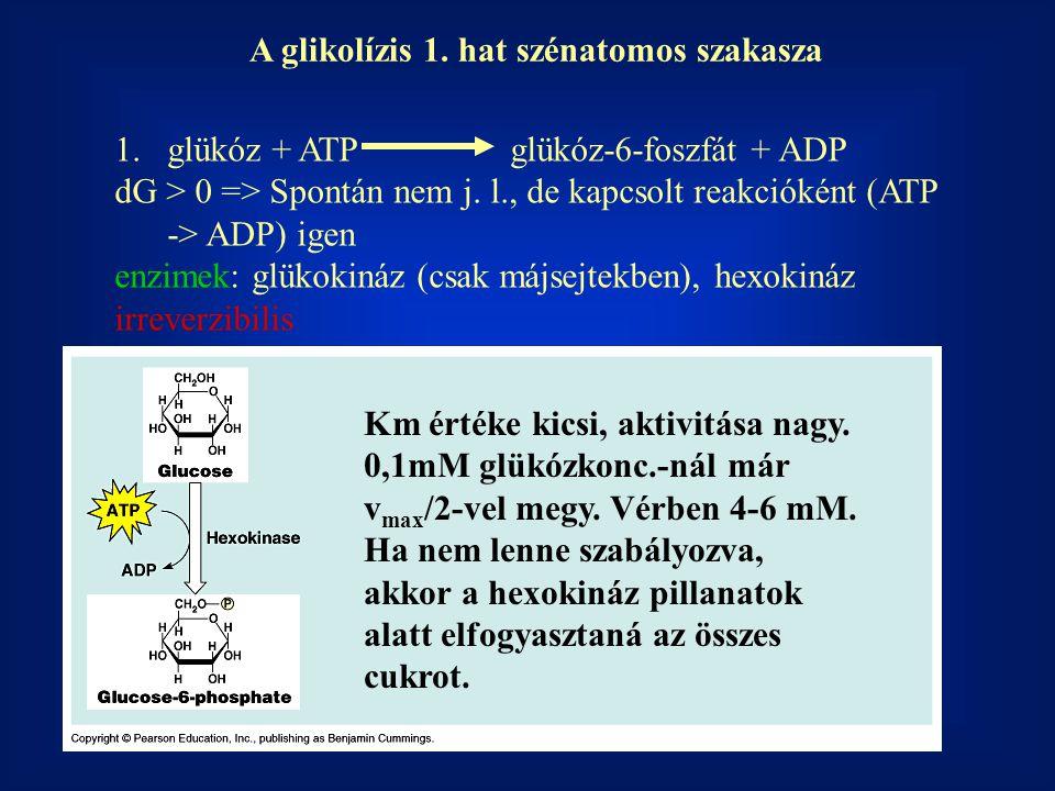 1.glükóz + ATP glükóz-6-foszfát + ADP dG > 0 => Spontán nem j. l., de kapcsolt reakcióként (ATP -> ADP) igen enzimek: glükokináz (csak májsejtekben),