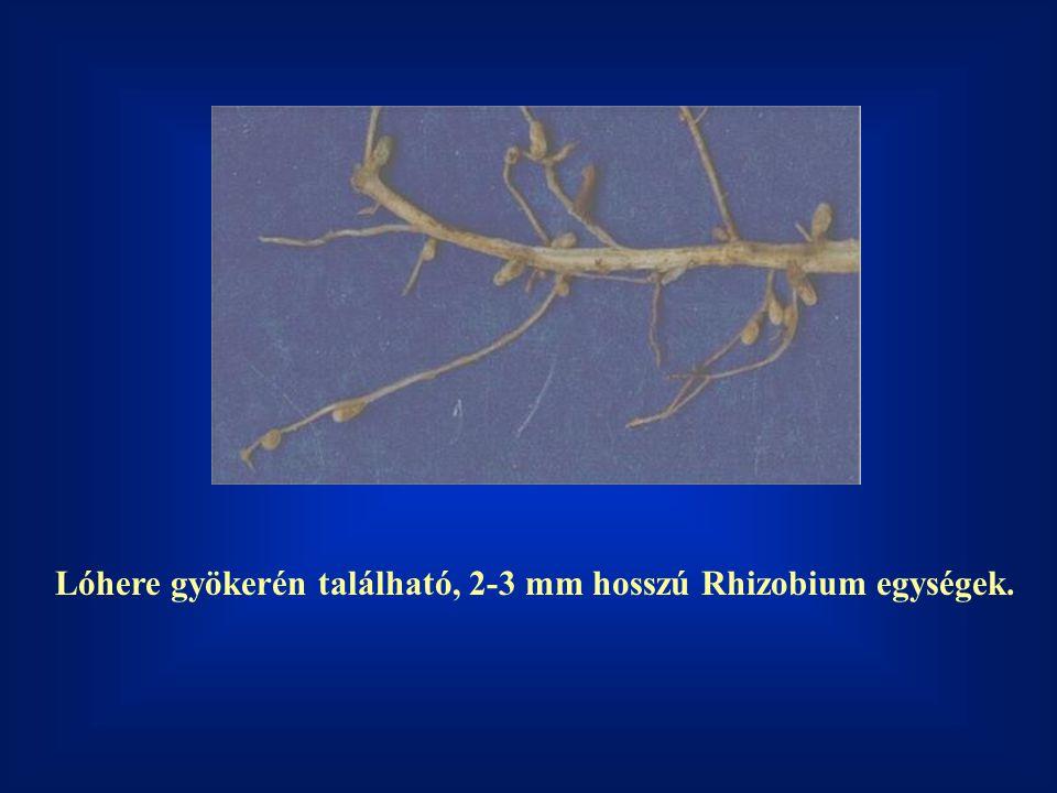 Lóhere gyökerén található, 2-3 mm hosszú Rhizobium egységek.