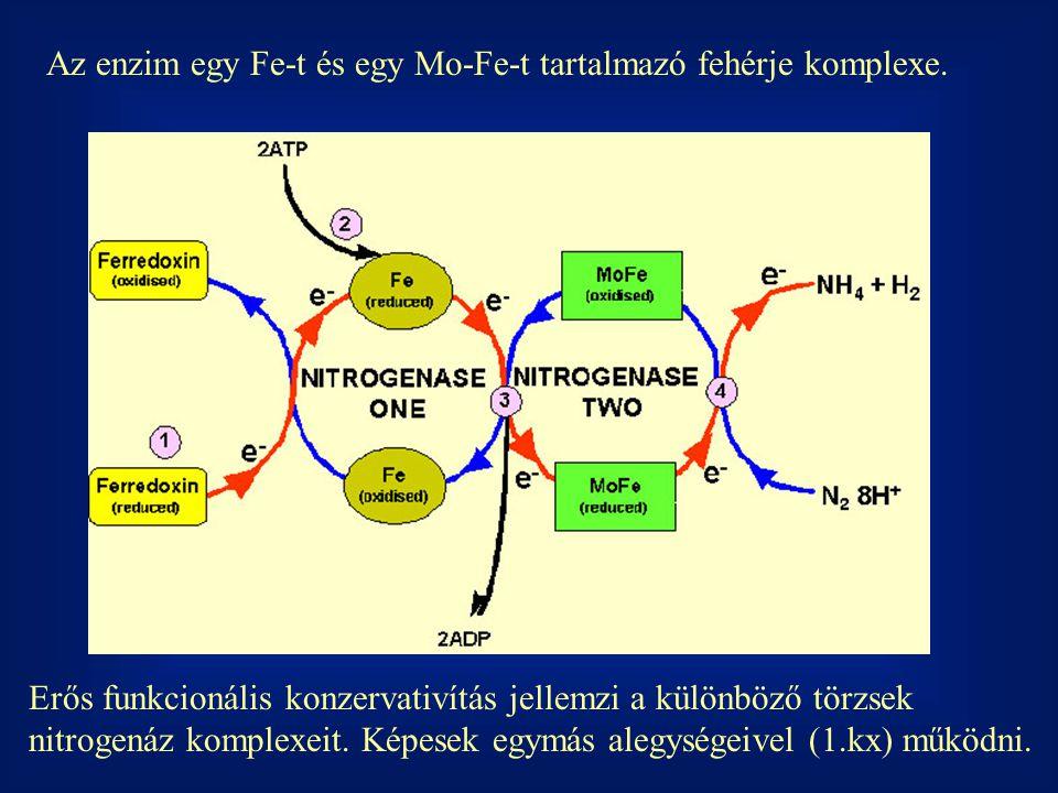Az enzim egy Fe-t és egy Mo-Fe-t tartalmazó fehérje komplexe. Erős funkcionális konzervativítás jellemzi a különböző törzsek nitrogenáz komplexeit. Ké