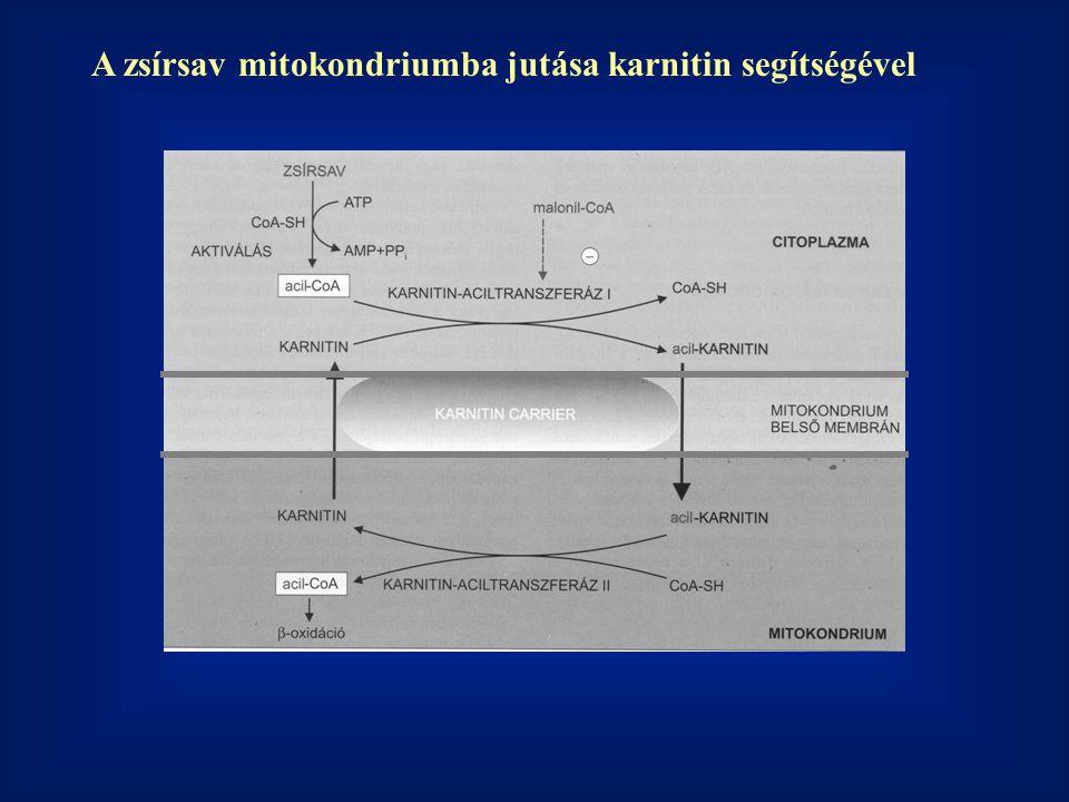 A zsírsav mitokondriumba jutása karnitin segítségével