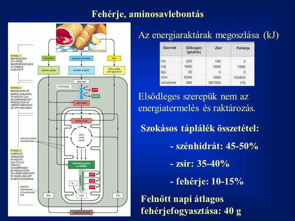 Fehérje, aminosavlebontás Az energiaraktárak megoszlása (kJ) Szokásos táplálék összetétel: - szénhidrát: 45-50% - zsír: 35-40% - fehérje: 10-15% Felnőtt napi átlagos fehérjefogyasztása: 40 g Elsődleges szerepük nem az energiatermelés és raktározás.