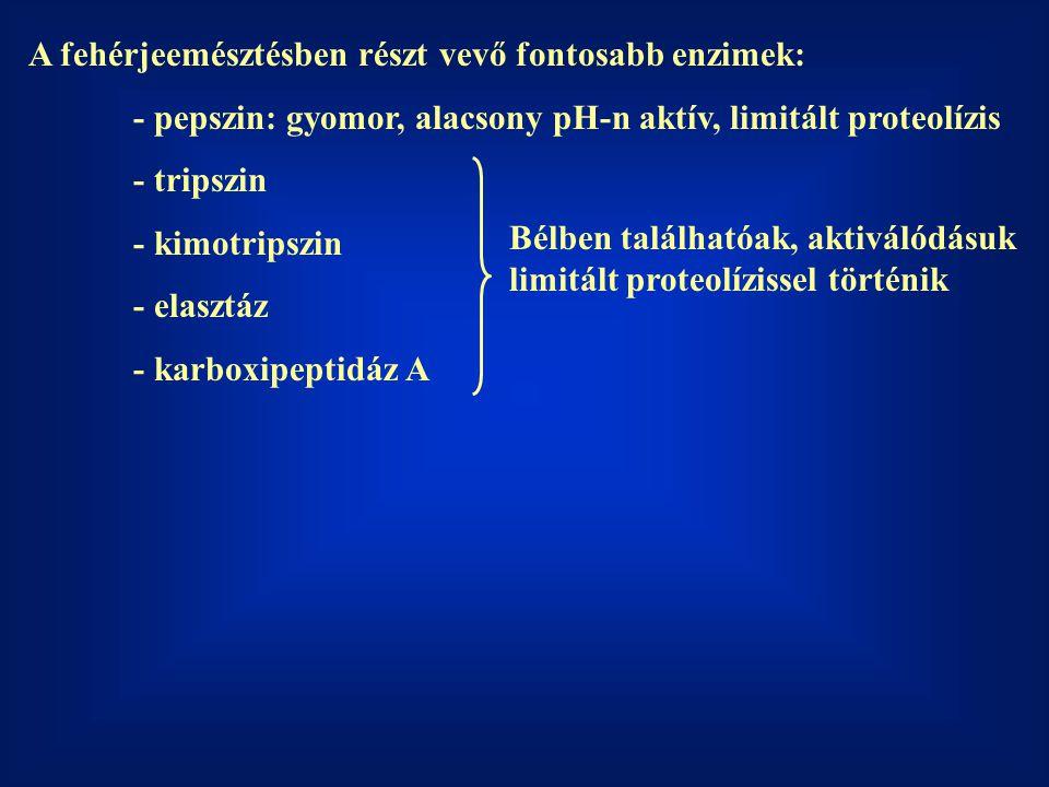 A fehérjeemésztésben részt vevő fontosabb enzimek: - pepszin: gyomor, alacsony pH-n aktív, limitált proteolízis - tripszin - kimotripszin - elasztáz - karboxipeptidáz A Bélben találhatóak, aktiválódásuk limitált proteolízissel történik