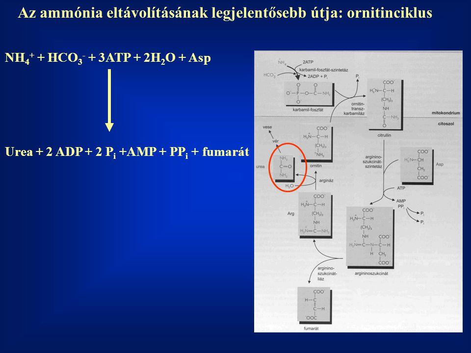 Az ammónia eltávolításának legjelentősebb útja: ornitinciklus NH 4 + + HCO 3 - + 3ATP + 2H 2 O + Asp Urea + 2 ADP + 2 P i +AMP + PP i + fumarát