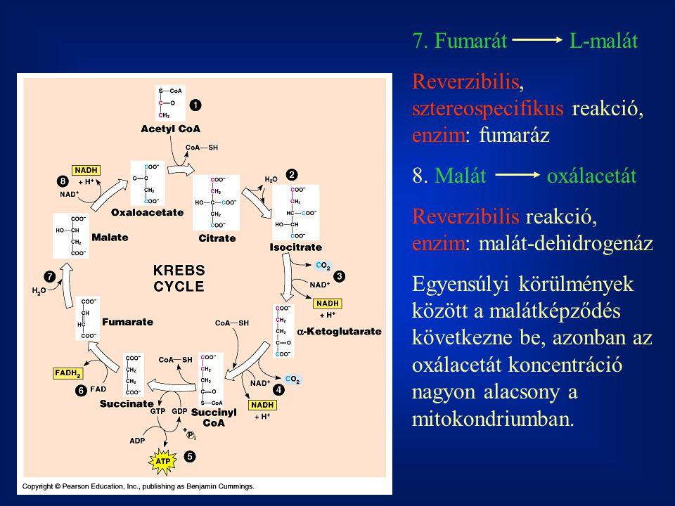 7. Fumarát L-malát Reverzibilis, sztereospecifikus reakció, enzim: fumaráz 8. Malátoxálacetát Reverzibilis reakció, enzim: malát-dehidrogenáz Egyensúl
