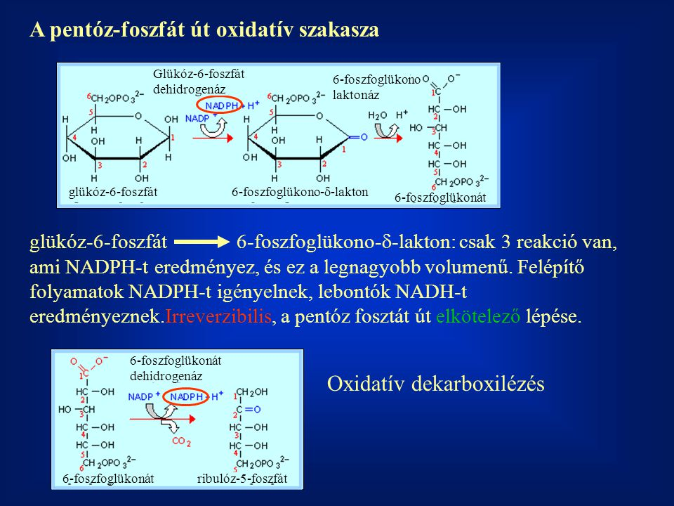 A pentóz-foszfát út oxidatív szakasza glükóz-6-foszfát 6-foszfoglükono-  -lakton 6-foszfoglükonát Glükóz-6-foszfát dehidrogenáz 6-foszfoglükono lakto