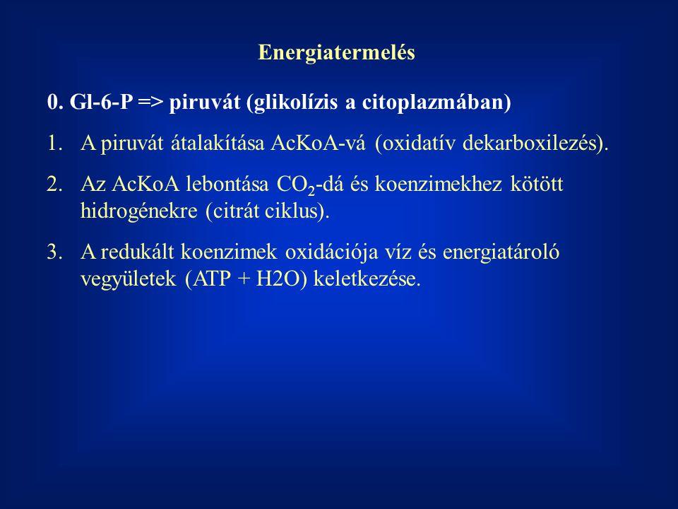 Energiatermelés 1.A piruvát átalakítása AcKoA-vá (oxidatív dekarboxilezés). 2.Az AcKoA lebontása CO 2 -dá és koenzimekhez kötött hidrogénekre (citrát