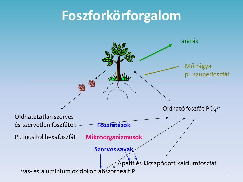 4 Foszforkörforgalom aratás Műtrágya pl. szuperfoszfát Oldható foszfát PO 4 3- Foszfatázok Mikroorganizmusok Szerves savak Oldhatatatlan szerves és sz