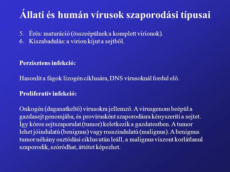 Állati és humán vírusok szaporodási típusai 5.Érés: maturáció (összeépülnek a komplett virionok). 6.Kiszabadulás: a virion kijut a sejtből. Perziszten